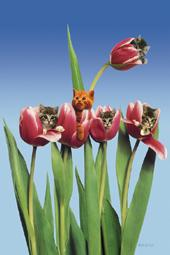 Cats in tulips