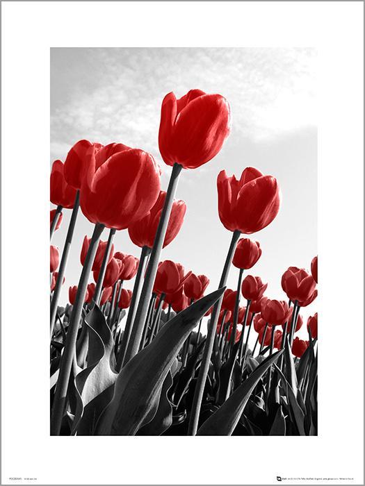Exklusivt Art Print -Red Tulips - Röda tulpaner
