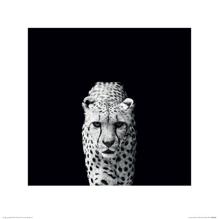 Nicolas Evariste - Acinonyx Jubatus - Cheeta - Gepard