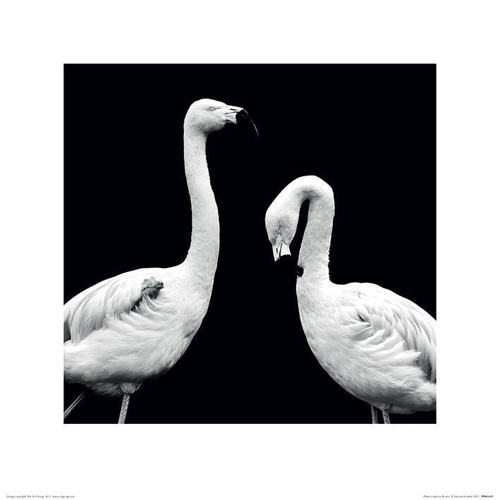 Nicolas Evariste (Phoenicopterus Roseus) Flamingo