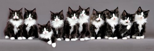 Keith Kimberlin - Norwegian Kittens