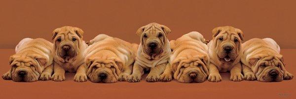 Keith Kimberlin - Sharpei Pups
