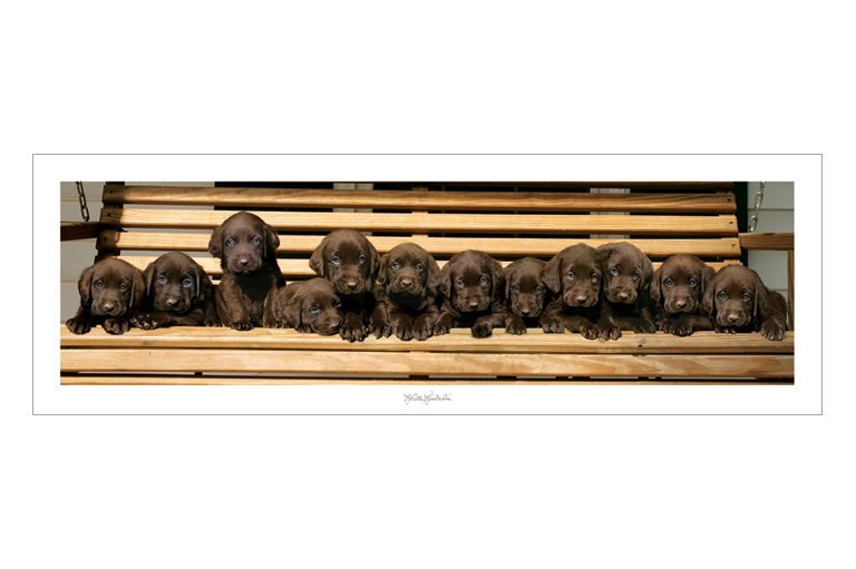 Keith Kimberlin - Chocolate Labradors