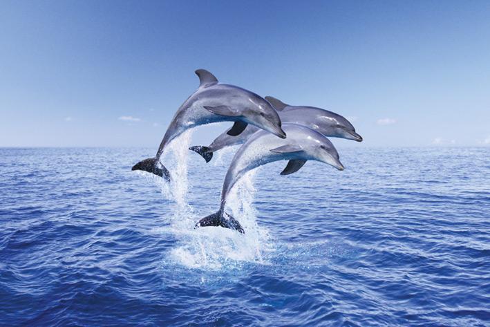 Dolphin - trio